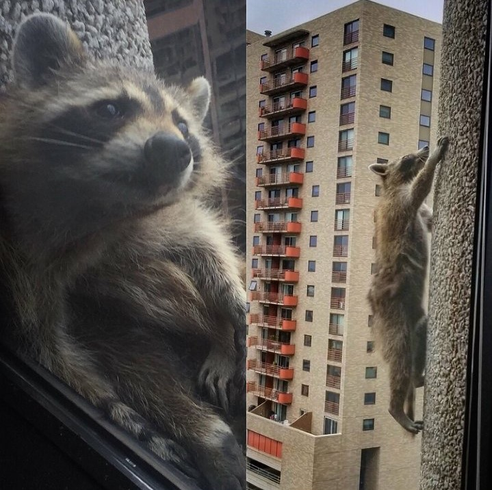 The MPRraccoon scales the 23-story UBS building.